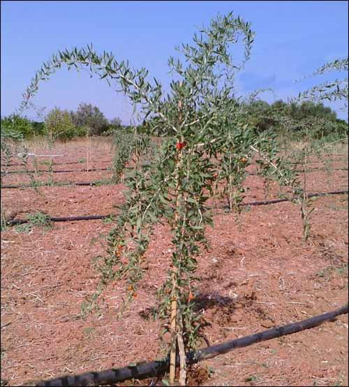 Buy Here Pay Here Md >> Goji Berry | Buy Goji Berry Plants | Medicinal Goji Berry Plant