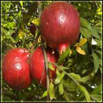 Pomegranate Trees Medicinal Uses