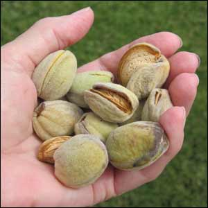 how to prepare almonds from the tree