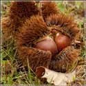 Prepper Gardens Chinese Chestnut Trees on Sale