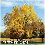 Prepper Gardens Walnut Tree on Sale