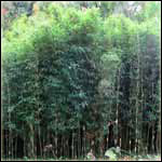 Bamboo Plants for Privacy and Survival