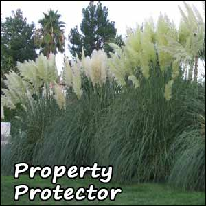 Pampas grass buy pampas grass plant grow pampas grass for Landscaping ideas with pampas grass