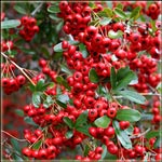 Firethorn Shrubs