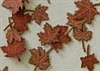 Leaves, Maple - Dry Leaves