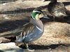 Baikal Teal Duck Pair
