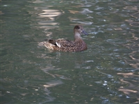 Falcated Teal Duck Hen