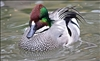 Falcated Teal Duck Pair