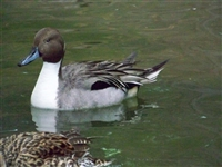 Pintail Duck Drake