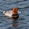 Red Head Duck Pair