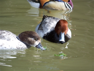 Silver Red Head Duck Pair
