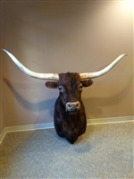 Longhorn Mount - Brindle