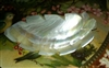 Authentic Carved Mother of Pearl MOP Czech Vintage Button Leaf Feather Angel Wing