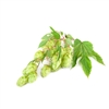 Galena Hop Plant in 2 Litre Pot