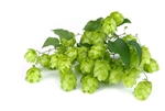 Saaz Hop Plant in 2 Litre Pot