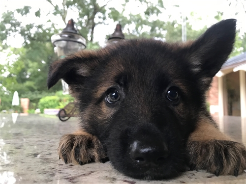 German Shepherd puppy Deposit