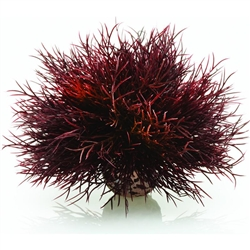 BiOrb Crimson Sea Lily