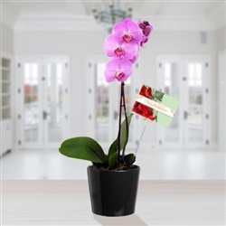 Orchid Plant - Available for Bogota Only