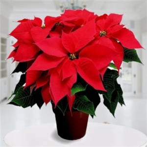 CHRISTMAS PLANT FOR COLOMBIA