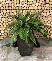 Boston Fern 34""