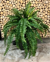 Boston Fern 48""