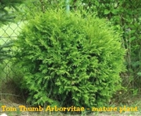 Thuja Occidentalis Hetzi Midget