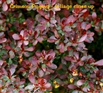 Crimson Pygmy Barberry