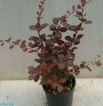 Red Superba Barberry
