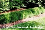 Green Gem Boxwood