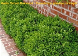 Green Velvet Boxwood/Buxus