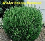 Winter Beauty Boxwood