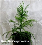 Gracilis Cryptomeria