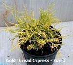 Gold Thread Cypress