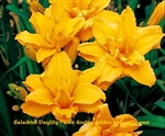 Double Talk Golden Daylily / Hemerocallis