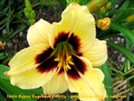 Little Gypsy Vagabond Daylily / Hemerocallis