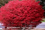 Burning Bush Euonymus