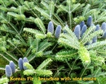 Korean Fir Abies koreana