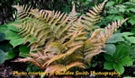 Dryopteris erythrosora - 'Autumn Fern'