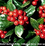 Dwarf Burfordi Holly