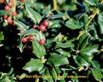 China Girl Hybrid Holly