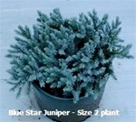 Blue Star Juniper