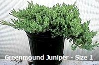 Green Mound Juniper