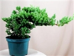 Green Mound Juniper Pre Bonsai