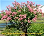 Hopi Crape Myrtle / Lagerstroemia x fauriei