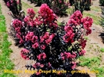 Midnight Magic Crape Myrtle / Lagerstroemia