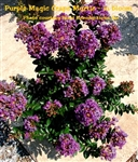 Purple Magic Crape Myrtle / Lagerstroemia