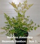 Heavenly Bamboo Nandina