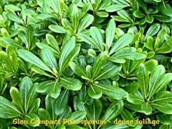 Glen Compact Green Pittosporum