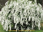 Reeves / Bridalwreath Spirea
