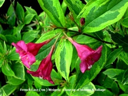 French Lace Weigela